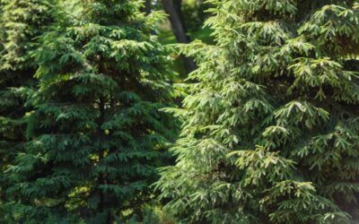 Why Do Evergreen Trees Turn Brown?